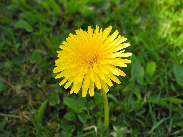 Dandelion Ayurveda Medicine